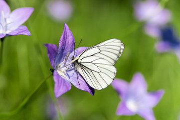 White butterfly on lavender bell in green