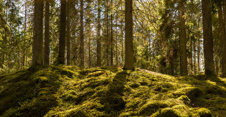 Sunshine on the forest moss
