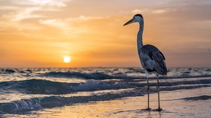 Heron on sunset background in Maldives.