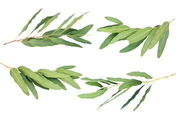 eucalyptus isolated on gray background with clipping path.