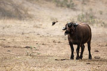 Young buffalo shaking off a bird landscape. Kruger National Park. Syncerus caffer