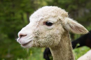 Portrait of lama white animal