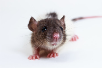 The Brown Lab Rat