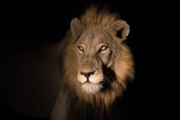 kruger national park lion