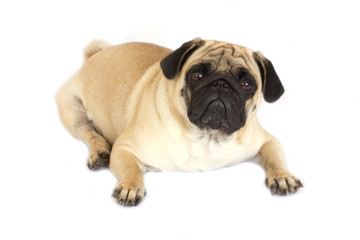A lying pug dog looking sad. Isolated.