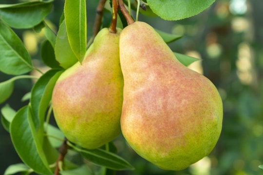 a pair of pears with a red blush hanging on a tree branch, close-up