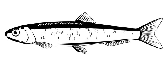 European Anchovy Fish
