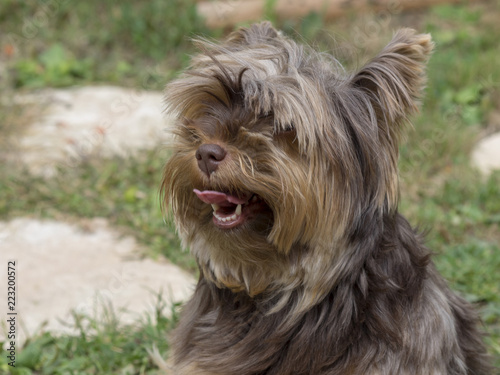 Une Petite Chienne Yorkshire Terrier De Petite Taille Tres Vive Et