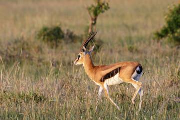 Thomson's gazelle on the African savanna