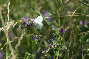 Kohlweißling auf einer Wildblume