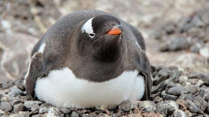 Penguin of Antarctica
