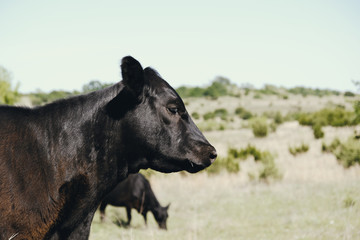 Wall Mural - Black angus calf on Texas farm with scenic rural landscape as backdrop.