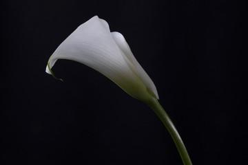 lirios blancos en fondo negro. lirio blanco en fondo negro.