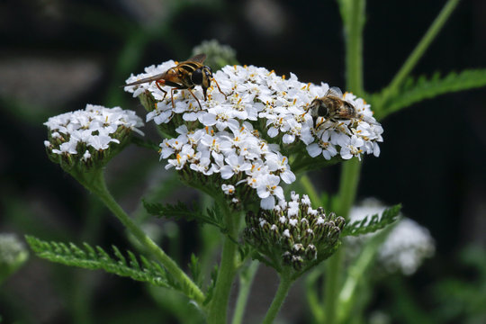 Insects feeding on flowers of Yarrow (Achillea Millefolium), a medicinal herb traditionally used for its anti-inflammatory properties