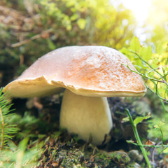 Big fresh edible mushroom boletus edulis in the green forest