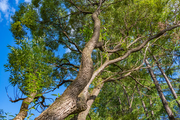 A beautiful old fantastic branchy willow tree with green leaves in a park in summer against the blue sky background
