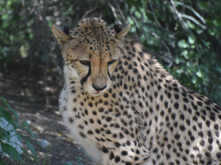 Beautiful Large Cheetah Cat on a Summer Day