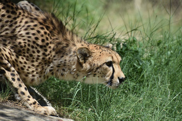 Sleeking Crouching Cheetah Cat Prowling in Grass