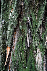 The texture of the tree bark is covered with moss. The background is gray-green