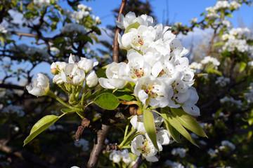 Obraz Kwiat wiśni, wiosna - fototapety do salonu