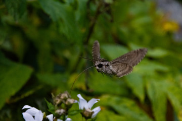 Hawk moth collects pollen from white flower