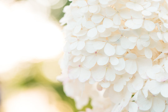 Delicate white Hydrangea flowers on blur nature green background. Close up shot.