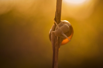 Close up macro shot with a snail on a little twig in the warm golden morning light