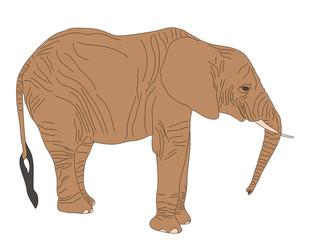 Digitally Handdrawn Illustration of a wildlife desert elephant isolated on white background