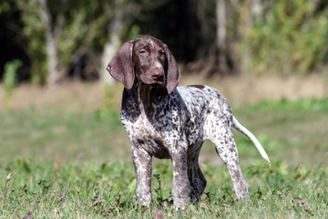 german shorthaired pointer, german kurtshaar one brown spotted puppy calm look, standing on a path surrounded by green grass on the field, a small cute dog, full length photo,
