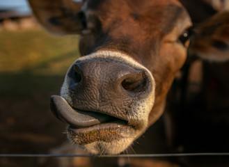 vaca Jersey fazenda língua gado