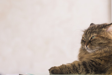 Beauty cat of livestock, siberian breed. Adorable domestic pet with long hair outdoor