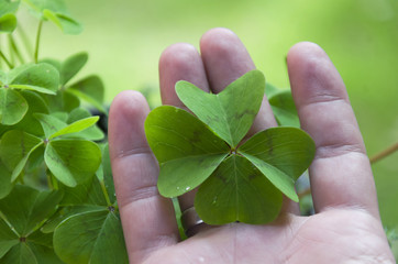Men's hand holding four leaf clover