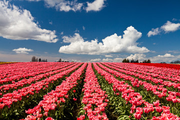 Red and pink tulips blooming in a field in Mount Vernon, Washington