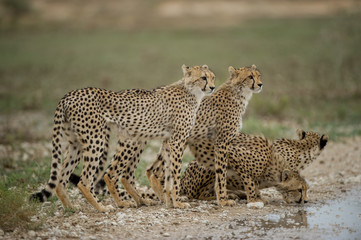 Group of cheetah standing near waterhole