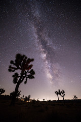 Joshua Trees under Milky Way