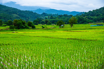 Papiers peints Vert chaux Rice field in Phayao province