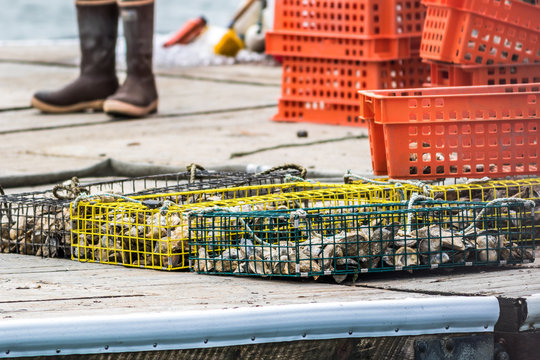 Oyster farming and oyster traps along the Damariscotta River in Maine
