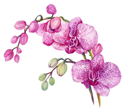 Branch pink Orchid. Watercolor hand painting. Isolated flower on white background