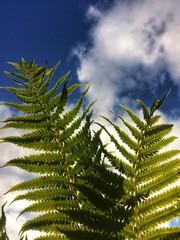 Leaves of fern blue sky