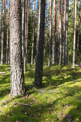 green moss in a pine forest