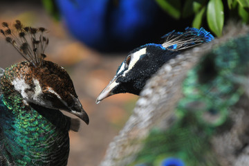 A peacock and peahen looking lovingly at one another