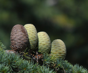 Close up of pine cones on Atlantic / Blue Atlas cedar tree Cedrus atlantica