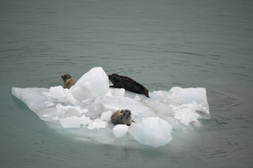 Iceberg with three sea lions