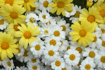 Flat lay close up photo of a cluster of bright yellow and white daisies with droplets of water