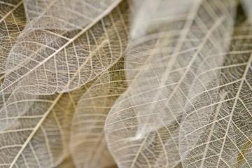 美しい葉./葉脈標本です.