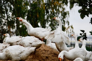 Group of geese in a farm on a heap of sawdust. Village