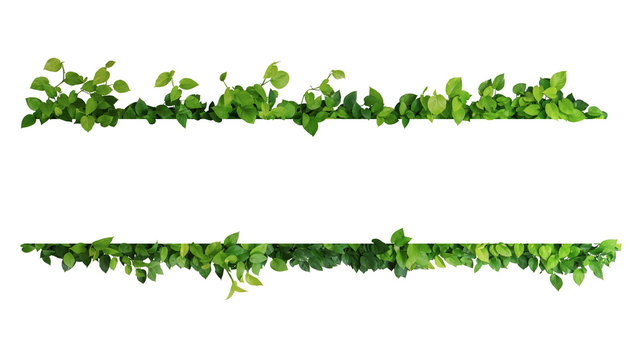 Green leaves nature frame border of devil's ivy or golden pothos the tropical foliage plant on white background.