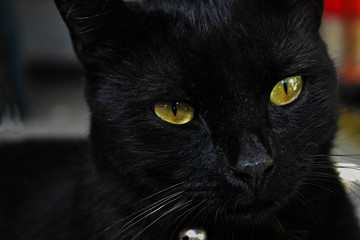 Closeup portrait of adorable green eyed black cat/ Halloween concept