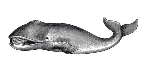 Greenland Whale Engraving Vintage Illustration