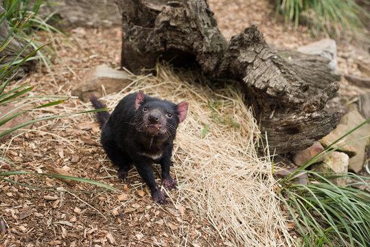 Tasmanian devil in natural reserve